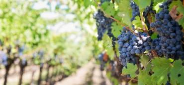 15ème Fête des Vignes 2018